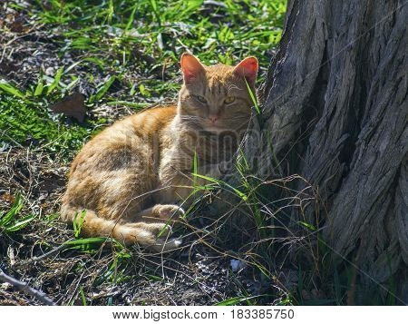 A red cat rests near a tree