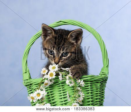 cute grey kitten