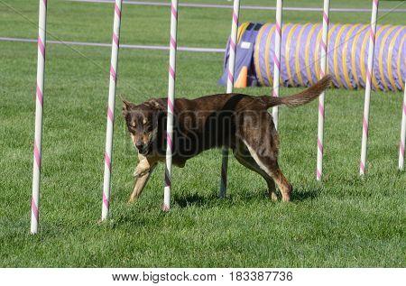 Australian Kelpie dog weaving though weave poles on dog agility course
