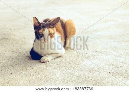 Portrait cat black white and orange color sitting on the floor