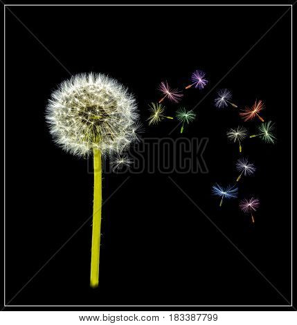 View of a Dandelion with multi coloured seed heads on a black background.