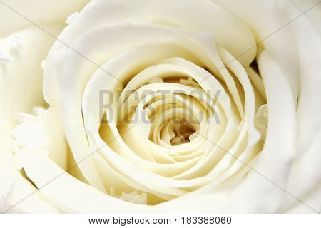 close-up wiew on white rose petals background
