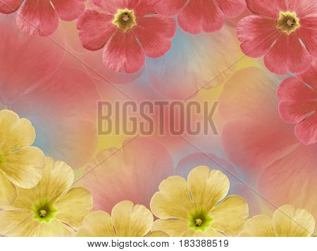 Yellow-red violets flowers. Garden flowers. Closeup. For designers For background. Nature.