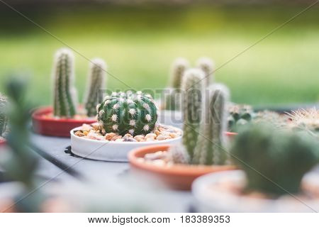 Mini Cactus In The Garden And Mini Stone