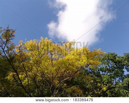 Beautiful yellow trees on blue sky background