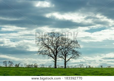 Two Dramatic Trees Isolated On A Spring Meadow In A Farm From Luxembourg. Dark Clouds.