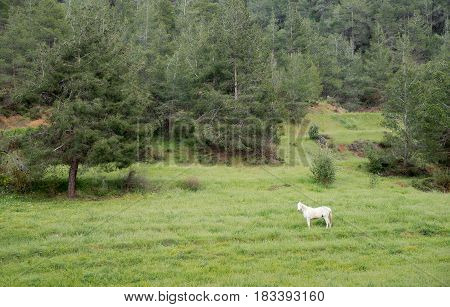 Lonely beautiful white horse feeding free in the green field