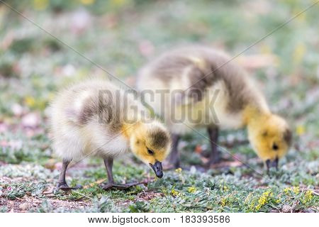 Canada Goslings (Branta Canadensis) Eating Grass. Santa Clara County, California, USA.