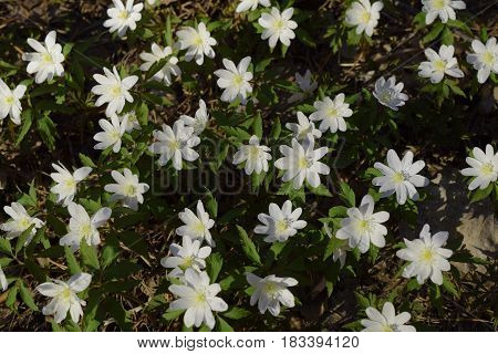 White wood anemone flowers glade in Siberian taiga forest in spring.