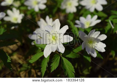 White wood anemone flowers in Siberian taiga forest in april.