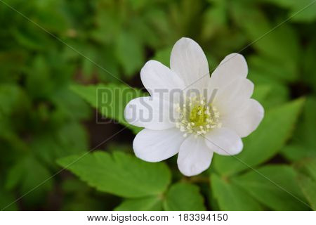 Lonely white wood anemone flower in Siberian taiga forest in april.