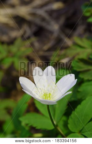 Single white wood anemone flower in Siberian taiga forest in april. Vertical orientation.