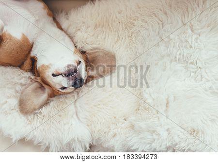 Sleeping beagle dog lies on the fur coverlet on sofa
