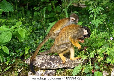 Two squirrel monkeys (Saimiri) walking side by side. La Vallée des Singes France.