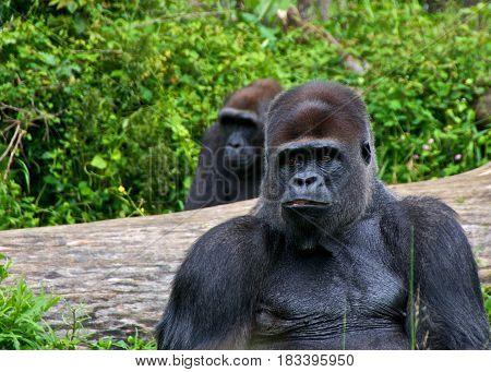 Two male gorillas sitting. La Vallée des Singes Romagne France.
