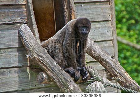 Woolly monkey (Lagothrix lagotricha)in zoo La Vallée des Singes Romagne France.