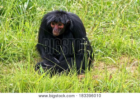 Red-faced spider monkey (Ateles paniscus) a.k.a. Guiana spider monkey or red-faced black spider monkey sitting in the grass.