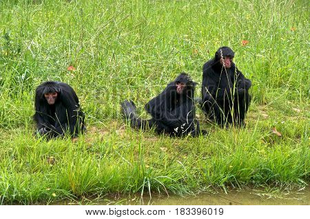 Three Red-faced spider monkeys (Ateles paniscus) a.k.a. Guiana spider monkey or red-faced black spider monkey sitting in the grass.