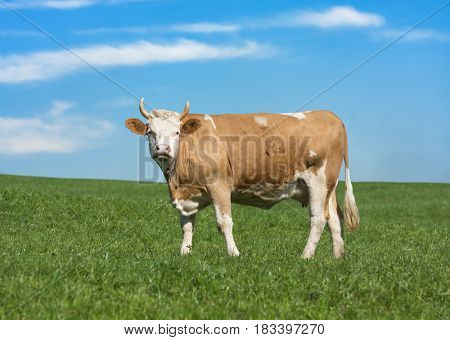 Cow in Swiss Alps