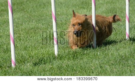Australian Terrier dog weaving though weave poles on dog agility course