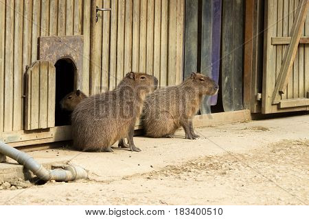 Three Capybara In Front Of Their Wood Made House
