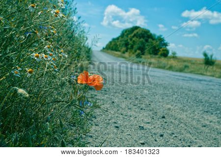 countryside road with meadow on a side with beautiful poppy flower and a lot of camomiles. blue sky with clouds