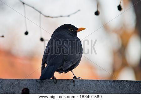 blackbird sitting on the fence close up