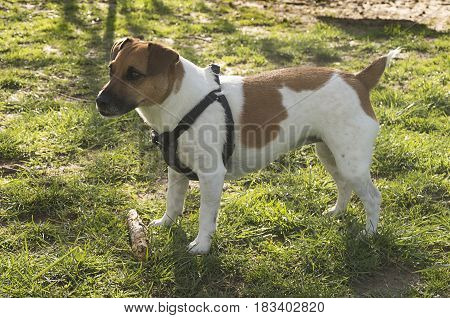 Lillya small Jack Russell Terrier stands ready to play in a dog park at a campground in Swananoa North Carolina