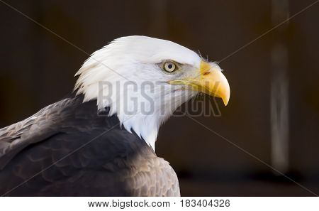 Side profile portrait of a Bald Eagle bird of prey national bird of the Unites States of America wildlife and patriotism symbols