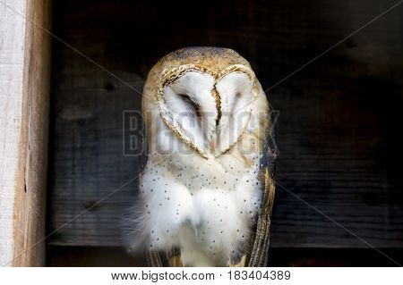 Soft and regal barn owl perched between wooden planks in a country building
