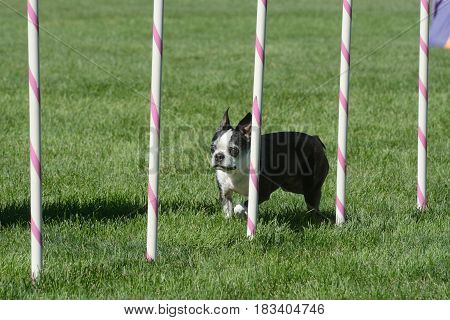 Older Boston Terrier dog weaving through weave poles on dog agility course