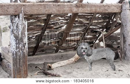 Poodle found a hand-built wooden shelter structure on the beach with driftwood for playing