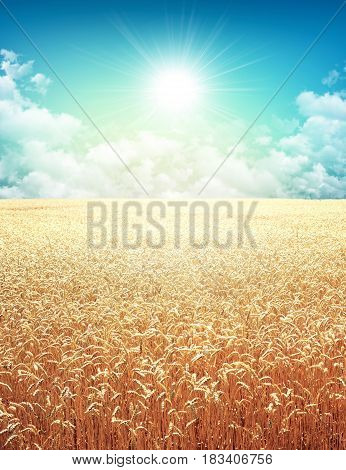 Golden wheat field growing slowly on a sunny morning sky
