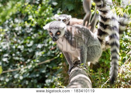 Two Lemurs on bench in the jungle. background of green forests. Close up of a ring-tailed lemur portrait of Lemur.