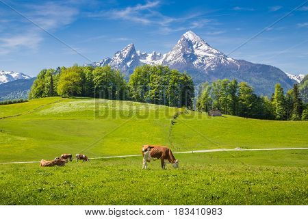 Idyllic Summer Landscape In The Alps With Cow Grazing