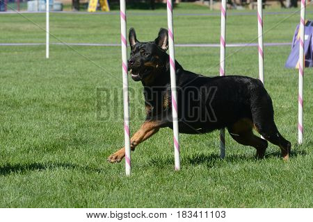Rotweiler dog weaving through weave poles on dog agility course