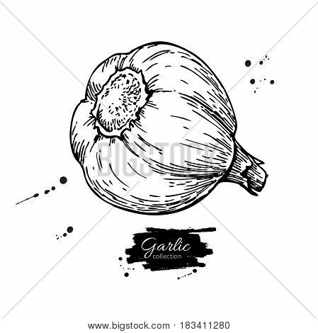 Garlic hand drawn vector illustration. Isolated Vegetable  Engraved style object. Detailed vegetarian food drawing. Farm market product. Great for menu, label, icon