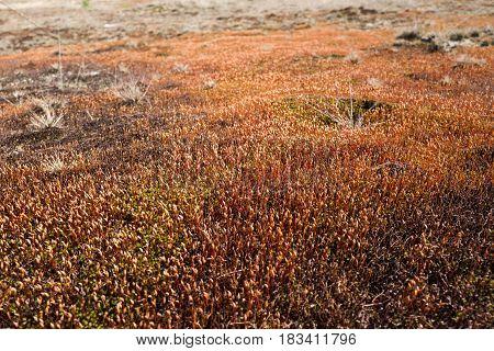 Ceratodon moss in the Nationaal Park Hoge Veluwe Netherlands.