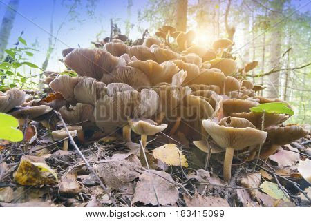 mushrooms on a stub in the wood