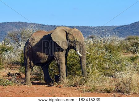 Picture of an African elephant in Madikwe game reserve, South Africa.