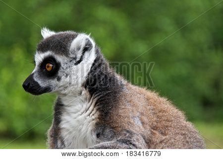 Head of Ring-tailed lemur (lemur catta). Parc des Félins Lumigny-Nesles-Ormeaux France.