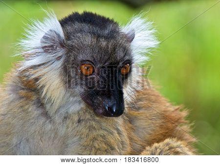 Female black lemur (Eulemur macaco) portrait. La Vallée des Singes Romagne France.