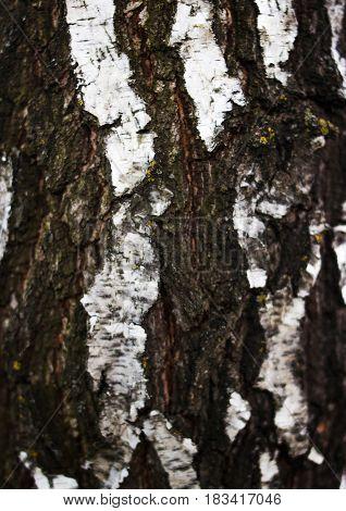 Birch bark. Beautiful bark of white wood.