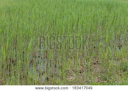 Texture Field Of Cattail On A Swampy Part Of The River