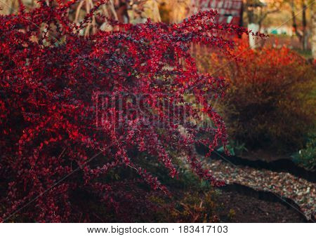 Bush barberry at sunset. Red bush. Red leaves on growth.