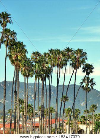 Sunny palm group in Santa Barbara California