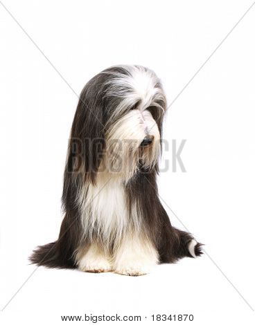 Sheepdog (15 moths) in front of a white background