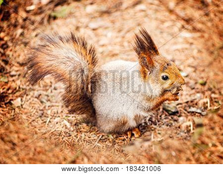 Squirrel on the forest ground eats the nut.