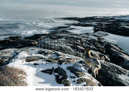 Dogs On Northshore At Barents Sea In Arctic Ocean