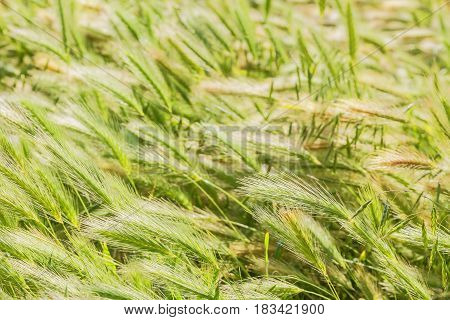 Grass in the field on a windy day close-up. Selective focus